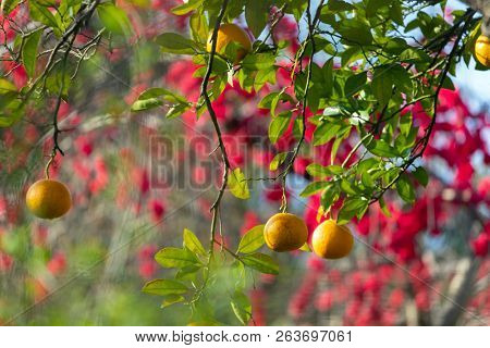 Fresh oranges hanging on the tree in a Japanese garden