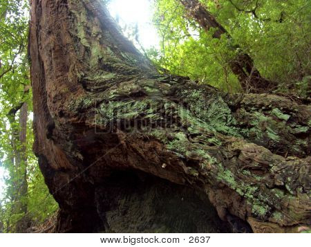 Curved Tree Trunk