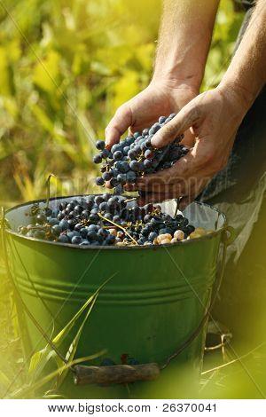 vintage; man's hands holding grapes