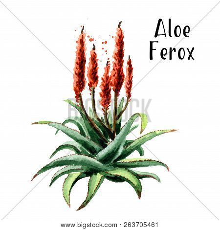 Aloe Ferox Plant. Watercolor Hand Drawn Illustration  Isolated On White Background