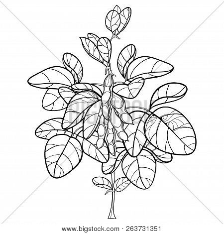 Vector Bunch With Outline Soybean Or Soy Bean With Pods And Ornate Leaf In Black Isolated On White B