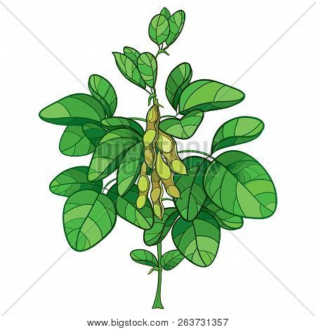 Vector Bunch With Outline Soybean Or Soy Bean Plant With Ripe Pods And Ornate Green Leaf Isolated On