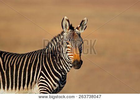 Portrait of a Cape mountain zebra (Equus zebra), Mountain Zebra National Park, South Africa