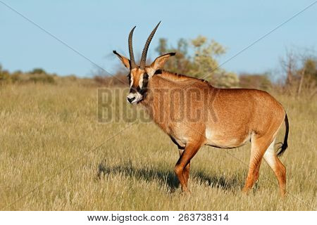 A rare roan antelope (Hippotragus equinus) in natural habitat, South Africa