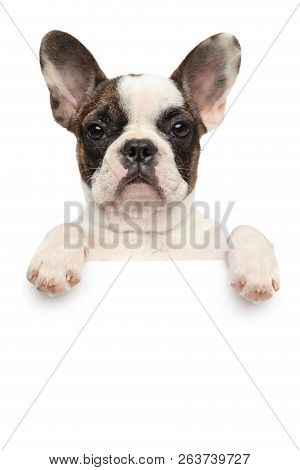 French Bulldog Puppy Above Banner Isolated On White Background