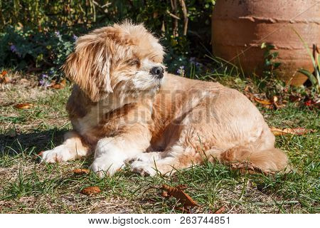 Red Lhasa Apso Dog Lying In A Garden