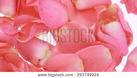 Pink rose petals close up for valentine's day background.