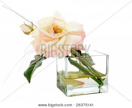 Garden rose in a vase, isolated on a white background