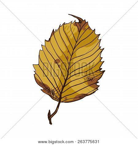 Beautiful Leaf Of Hardwood Hornbeam. Decorative Garden And Park Decorations.