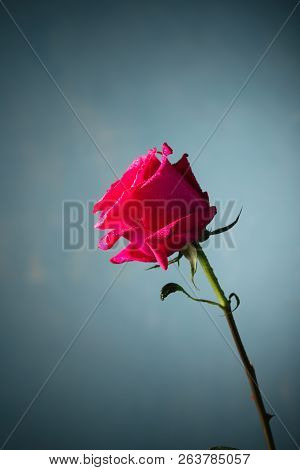 Pink Rose With Water Drops On Dark Blue Background.