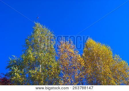 Looking Up The Birch Tree Tops Against Blue Sky On A Sunny Fall Day. A Bird Flying Over.