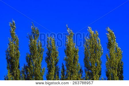 Lombardy Poplar Tree Tops Against Blue Sky On A Windy Day. Abstract Natural Background.