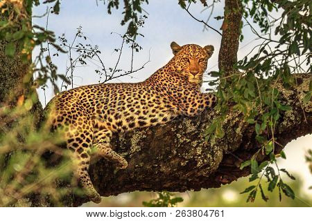 African Leopard, Panthera Pardus, Resting In A Tree In The Nature Habitat. Big Cat In Kruger Nationa
