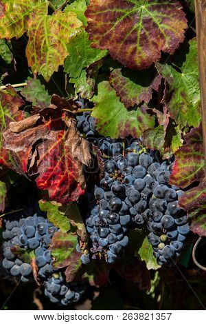 Unharvested grapes on the vine showing signs of decay and autumn colors, close up