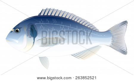 One Gilt-head Bream Fish In Side View, High Quality Illustration Of Sea Fish, Realistic Sea Fish Ill