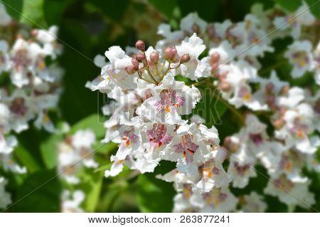 Southern Catalpa Flower Close Up - Latin Name - Catalpa Bignonioides