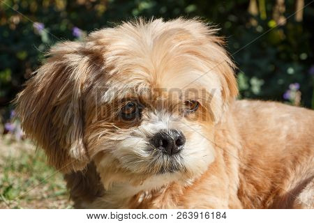 Close-up On The Head Of A Lhasa Apso Dog Lying In A Garden