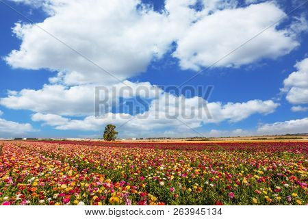 Kibbutz in the south of Israel. Spring in Israel. Easter week. Field of flowering garden buttercups. Concept of active and ecological tourism