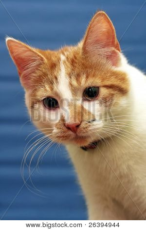 Shorthair Red-white Cat, Blue Striped Background