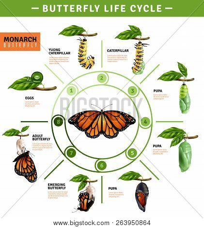 Butterfly Life Cycle Infographics Layout  Illustrated Developing Stage Of Monarch Species From Eggs