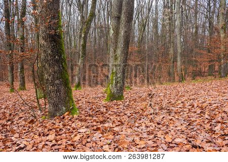 Naked Trees With Moss On Trunks In Empty Forest. Lonely Atmosphere Of Late November