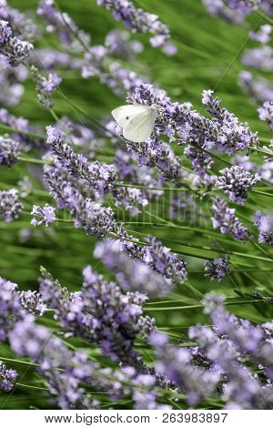 A Cabbage White Butterfly Settling On A Lavender Bloom