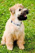 Irish soft coated wheaten terrier sit on grass poster