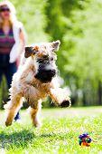 Running dog on grass catch ball (Irish soft coated wheaten terrier) poster