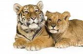 Lion Cub (5 months) and tiger cub (5 months) in front of a white background poster