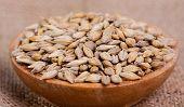 Barley beans. Grains of malt close-up. Barley on sacking background. Food and agriculture concept. Hops. poster