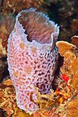 Callyspongia plicifera. A pink/purple vase-like sponge that is fluorescing light blue on its edges. The exterior is highly textured with convoluted ridges and valleys. poster