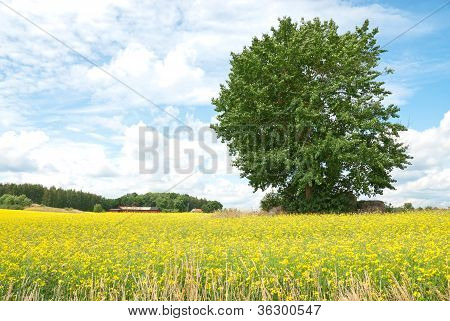 Green Tree In Summer Yellow Meadow.