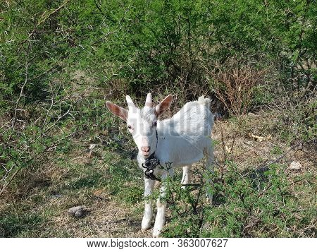 Baby Goat Tied Up On The Hill In The Middle Of A Lot Of Vegetation, Jalisco