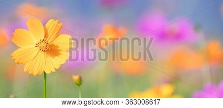Pink And Yellow Cosmos Flower Field Background.beautiful Cosmos Flower Natural Garden In Countryside