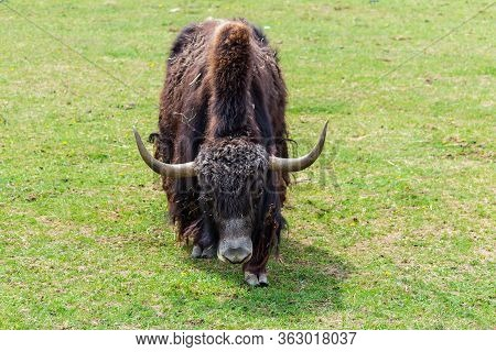 Portrait Of Tibetan Yak Cow, Bos Mutus F. Grunniensis On Grass