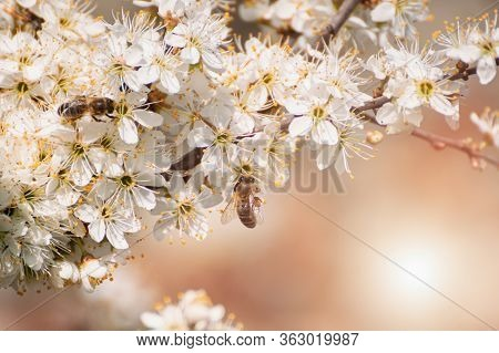 Prunus Spinosa, Called Blackthorn Or Sloe Tree Blooming In The Springtime, Bee Pollinating