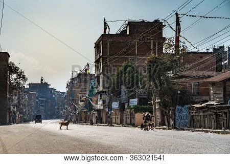 March 31, 2020. Kathmandu, Nepal. Budha District. The Calf Wanders With Dogs Along One Of The Centra
