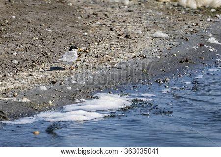 Common Terns (sterna Hirundo) In