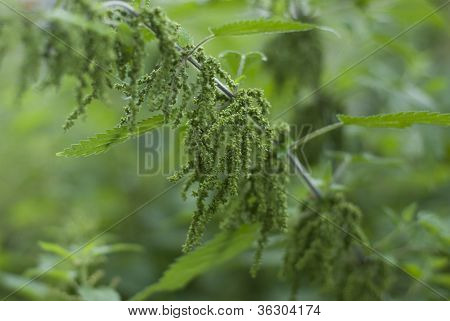A Stinging Nettle -urtica Dioica,  Loaded With Seeds