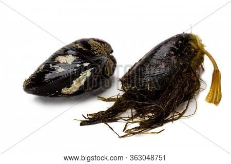Live freshly caught mussels isolated on white background