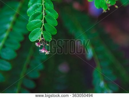 Close Up Phyllanthus Pulcher Wall Red Herbal Flower Hanging Under Leaves In Rows, This Tropical Paln