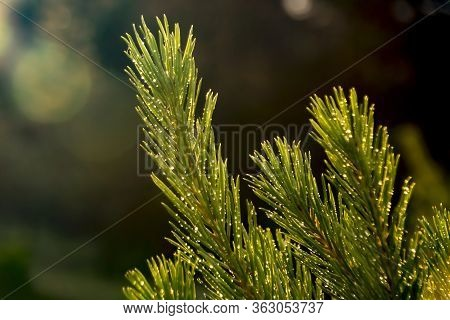 Evergreen Tree Branches Covered With Rain Drops And Illuminated By Sunset Sun Light, Creating Natura