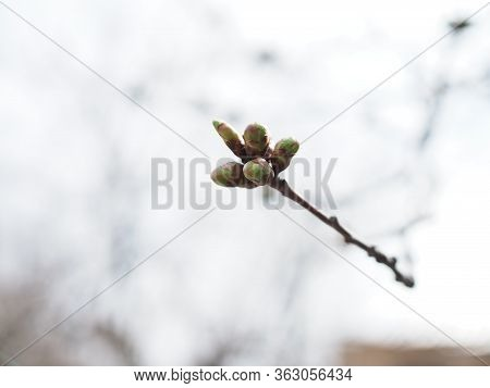 New Winter Buds Of A Cherry Tree Prunus Avium With Green Sepals And White Petals Sprouting In German