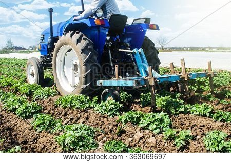 Tractor Plows Loosens The Land Of A Plantation Of A Young Riviera Variety Potato. Cultivation Of An