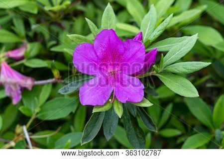 Rhododendron Ponticum, Called Common Rhododendron Or Pontic Rhododendron, Is A Species Of Rhododendr