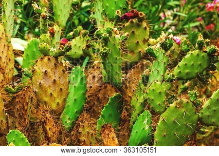 Prickly, Green Cactus, Close Up. Prickly Pear Cactus With Sharp Spiny Thorns And Red Edible Fruits.