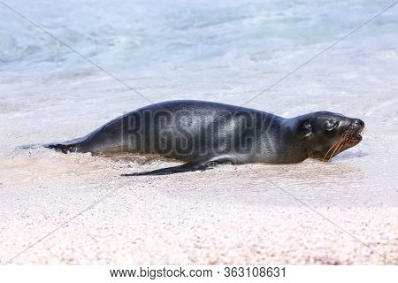 Galapagos Sea Lion Resting At The Beach On Espanola Island, Galapagos National Park, Ecuador. These