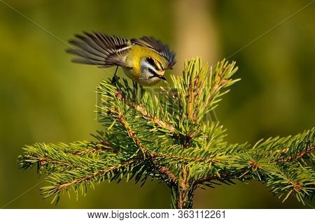 Firecrest - Regulus Ignicapilla Small Forest Bird With The Yellow Crest Singing In The Dark Forest W