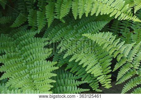 Closeup Of Wood Fern Dryopteris Felix-mas Leaves In A Garden, Uk