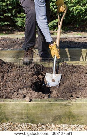 Digging In Compost In Winter, Man Preparing Raised Bed For Growing Vegetables, Uk